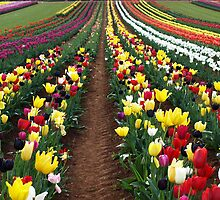 Tulips in the Dandenong Ranges,  Australia by Bev Pascoe