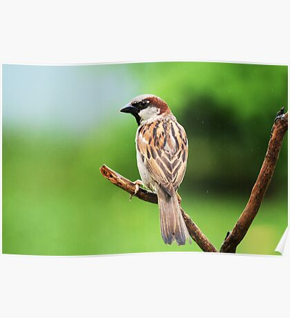 Common House Sparrow - Breeding Male Poster