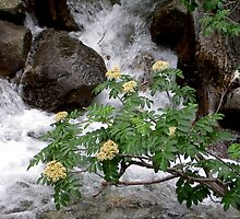White  flowers, white water, black rocks by Al French