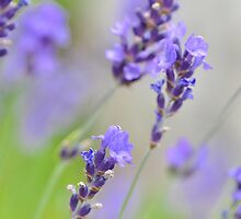 Softly Lavender by Nancy Barrett