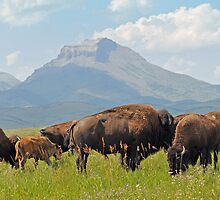 Bison Herd, Ear Mountain by Donna Ridgway