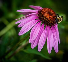 Bumblebee on cone flower by Nelson Charette
