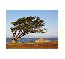 Coastal Cypress Art Print