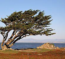Coastal Cypress by Patty Boyte