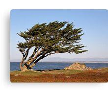 Coastal Cypress Canvas Print