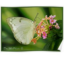Large White Butterfly Asia (I) Poster