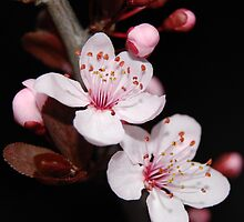 Cherry Blossoms 2 by Bonnie Kendall