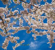 White cherry blossoms by Nelson Charette