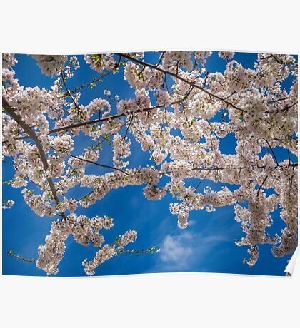 White cherry blossoms Poster
