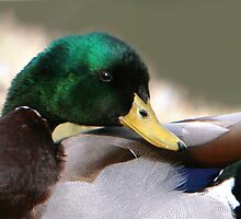 Mallard Details by Lisa G. Putman