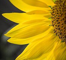 Beautiful Sunflower Closeup by Nelson Charette