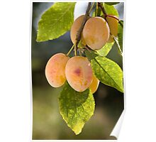 Group of yellow ripe plums on branch. Poster