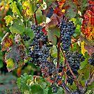 From the Vineyard - Cheers ! by Nira Dabush