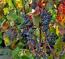 From the Vineyard - Cheers ! by Nira Dabush