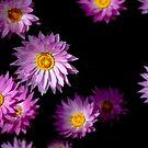 Daisies by Naomi Brooks