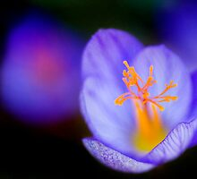 Crocus in Focus by Andy Freer