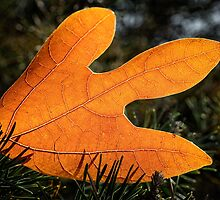Autumn leaf on the ground by Nelson Charette