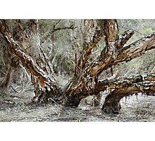 Swamp Paperbark Tree Photographic Print