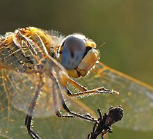 Macrophoto of a Dragonfly - France (Corsica island) by Marieseyes