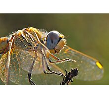 Macrophoto of a Dragonfly - France (Corsica island) Photographic Print