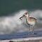 shore birds of Florida