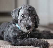 Awesome Bedlington Terrier