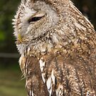 Magnificent Brown Owl by Sue Leonard