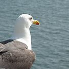 Sea gull by Freek Monteban