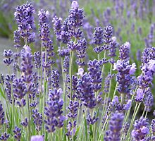 Beautiful lavender flowers in full bloom by Sue Leonard
