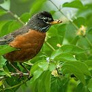 Robin by Gaby Swanson  Photography