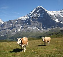 The Eiger and cows!! by mjdennison