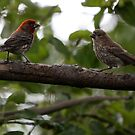 Purple Finch Pair on a Branch by Wolf Read
