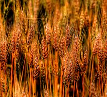 Golden Canadian Wheat by Larry Trupp