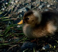 The Duckling by Daphne Johnson