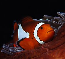 Clown fish in anemone by Esteban  Toré
