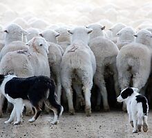 Sheep Dog in Training, Red Desert, Wyoming by A.M. Ruttle