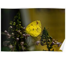Lemon Migrant Butterfly Poster