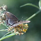 Red Spotted Purple Butterfly by Dave & Trena Puckett
