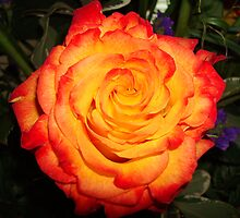 Flaming Rose by Marea Breedlove