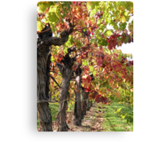 Vineyards of Calistoga  Canvas Print