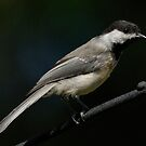 Black-Capped Chickadee by okcandids