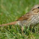Song Sparrow (side view) by okcandids