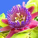 Passionflower by Rosalie Scanlon