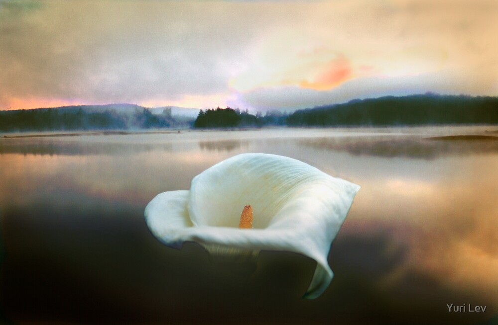 Lily Rising at Stillwater Reservoir by Yuri Lev