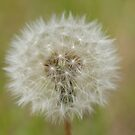 Dandelion by Andrew Trevor-Jones