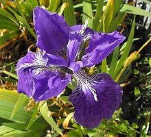 Purple Iris by Carol Field