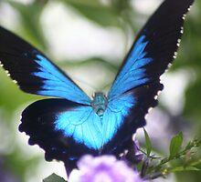 Papilio ulysses - Ulysses.jpg by Forto