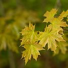 Young Leaves Of A Maple by Irina777