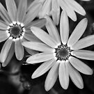 Black and white daisies by Agnes McGuinness
