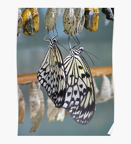 Butterflies and Chrysalis Poster